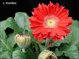 Ideas For Gerbera Flowers Plant Id Flowers And Foliage Gerbera Florida Master