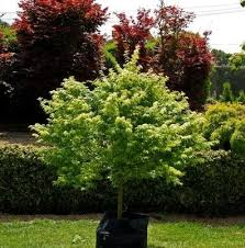 spire ornamental pear hello hello plants garden supplies