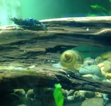 japanese trapdoor snail and neocaridina shrimp on driftwood these
