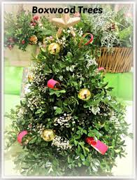 boxwood the ultimate green for christmas u2013 the garden diaries