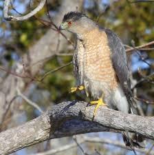 Nj Backyard Birds by Identifying Backyard Accipiters Nj Audubon Ebird