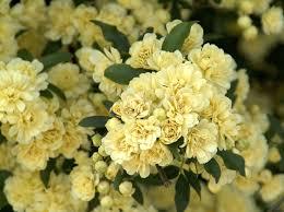 yellow lady banks climbing rose monrovia yellow lady banks
