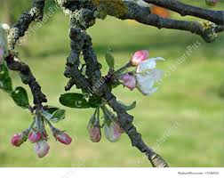 blooming apple tree branch apple blossom stock picture i1746932