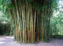 29 best bamboo images on bamboo privacy hedge and
