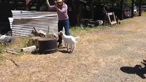 goat town usa youtube