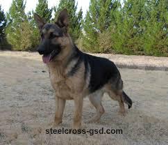 9 month old belgian malinois steel cross german shepherd dogs