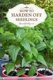 growing herbs indoors under lights how to harden off seedlings nursery gardens and lights