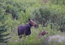 utah native plants securing utah u0027s moose population wild about utah