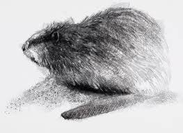 one of my sketch a day drawings uk beaver art beaver drawing