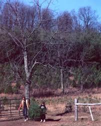 Christmas Tree Farm Va - francisco farms choose and cut farm