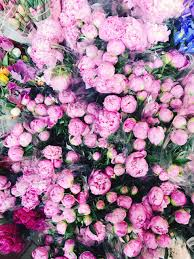 where to buy peonies all about peonies the pink