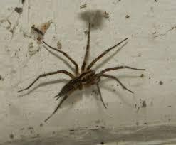 furrow spider larinioides cornutus the spider guide