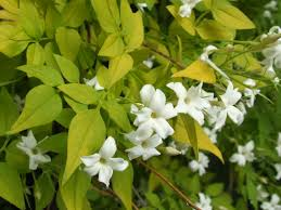 Fragrant Jasmine Plant Jasminum Officinale U0027fiona Sunrise U0027 This Continues To Be A