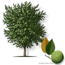 ecological gardening why osage orange trees why here why now