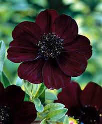The Most Fragrant Plants - heavy petal chocolate scented plants