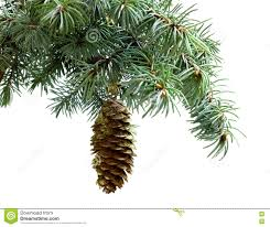white pine cone fir tree branch isolated on white with fir pine cone stock photo