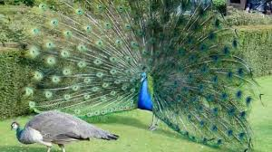 peacock sounds and pictures youtube