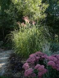 imperata baron ornamental grass ideas for the yard