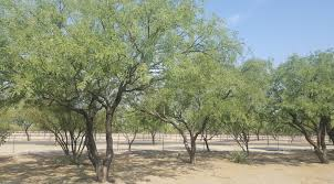 harvest seeds and native plants native seeds search everything mesquite