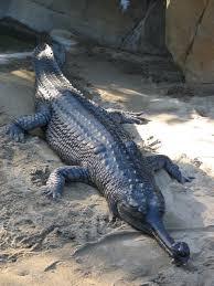 gharial wikipedia