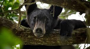 Are Bears Color Blind Black Bear Tn Gov