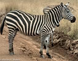 essay writing on zebra