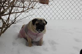 pug sweater a snowy pug wearing a sweater about pug