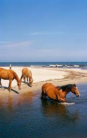 North Carolina Wild Swimming images Wild horses swimming at beach outer banks north carolina mark jpg