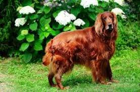 irish setter male dog names irish setter puppies and dogs for sale in usa