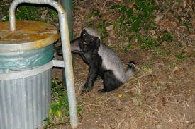 file honey badger mellivora capensis on the way to the garbage