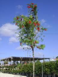 buy bottlebrush tree in ta brandon riverview apollo