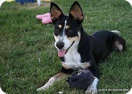 australian shepherd queensland heeler mix puppies siri adopted dog patterson ca australian cattle dog german