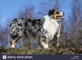australian shepherd standard dog australian shepherd aussie standard profile blue merle