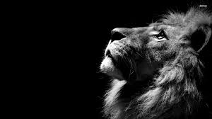 male lion wallpapers photo collection lion 4k wallpaper picture
