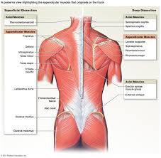 muscle groups anatomy image collections learn human anatomy image