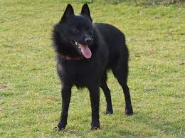 belgian shepherd nz schipperke wikipedia