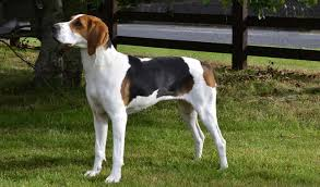 bluetick coonhound louisville ky treeing walker coonhound dog breed information