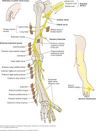 Nerve Map Chapter 3 The Nervous System Dutton U0027s Orthopaedic Examination