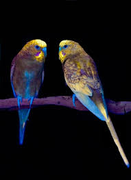 uv light for birds birds of a feather fluoresce together physiological ecology