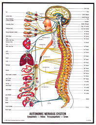 Human Anatomy Careers Human Body Nerve Diagram Anatomy 1000 Images About Medical