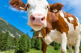 what if cows didn u0027t exist howstuffworks