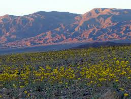 Pretty Plants by Plant Reports Death Valley Trip 2016