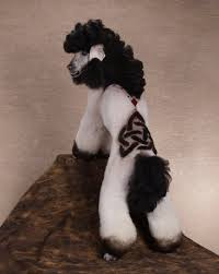 pictures of poodle haircuts crazy poodle haircuts funny dogs image funny dogs pictures
