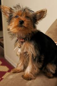 teacup yorkie haircuts pictures how much does a yorkie and teacup yorkies cost yorkiepassion com