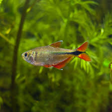 buenos aires tetra hyphessobrycon anisitsi for sale petsolutions