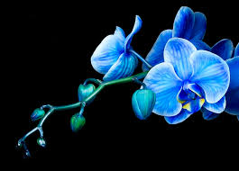 blue orchids for sale by bob orchid bobs orchid and flowers