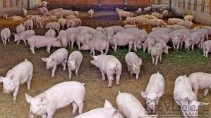 pig farming business plan template benefited focus cf