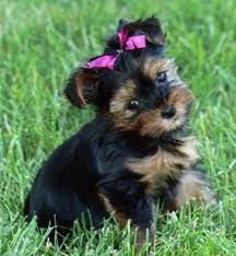 hair accessories for yorkie poos yorkie baby puppies pinterest facebook yorkies and animal