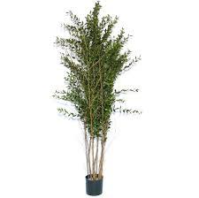 indoor eucalyptus tree solidaria garden