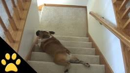 bulldog u0027s lazy stair slide video by afvanimals fawesome tv